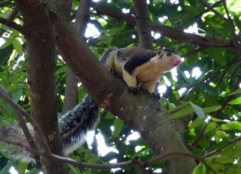 在服务区我拍到了一只双色巨松鼠。双色巨松鼠又叫树狗、黑果狸、大黑松鼠等,是体形最大的一种松鼠,体长为2746厘米,尾长为3651厘米,体重为13002300克。头小而短圆,耳壳显著并长有蓬松的短簇毛,尾毛蓬松而圆,长度超过体长。身体主要分为2种颜色,而且界限分明:背部、四肢的外侧和整个尾巴都是乌黑色,而且具有光泽,在阳光照射下闪闪发光。