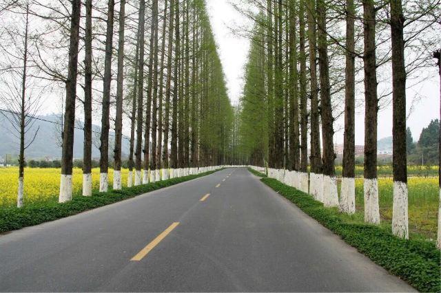 大挺拔的水杉树的路段,而路边是油菜花盛开的田野,赶紧下车,一阵狂拍