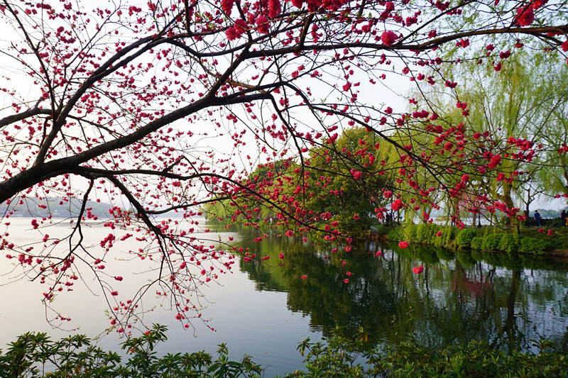 春天里的西湖是最惬意的.处处桃红柳绿,莺歌燕舞.