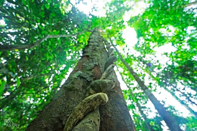 树冠上的行走,阿凡达的秘境 一早起就出发去望天树景区,这是西双版纳热带雨林的核心,是国内唯一从水、陆、空全方位体验雨林的好地方。景区内的望天树通常在40-60米,最高达80米。 --进入望天树风景区,有热带雨林和植物花卉两条路线,两条路线的终点都到空中走廊的入口处,无论先走哪一条都能把整个景区走完。 tips: 1、交通 专线旅游直通车:8:30由景洪市客运南站发车,15点左右从景区返回景洪市 直达班线车:上午9:50、下午16:30从版纳客运站(翻胎厂)发车至勐伴,到望天树景区下车即可,景洪市勐腊县望