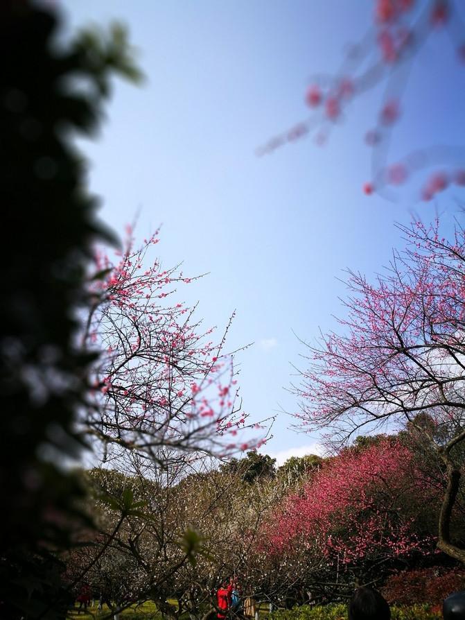 梅花花瓣散落红色素材