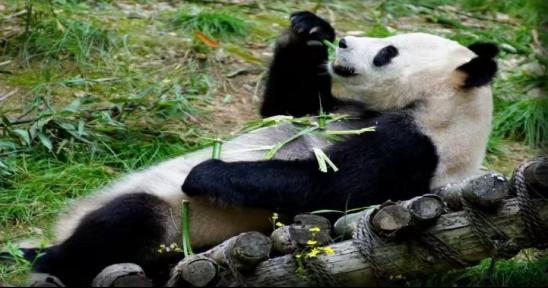 大熊猫素描图片可爱图片