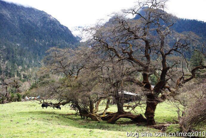 沟谷两侧,林木参天,青冈,云杉,桦树,柏木翠绿幽深;淡黄色的松萝,从高