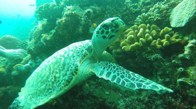 美娜多知识介绍:属于是印度尼西亚,位于亚洲与大洋洲的交汇点,跟中国没有时差,被五大潜水机构评定为世界潜水圣地之冠。这里阳光艳丽,终年水温保持在摄氏28度,加上极少开发,让美娜多的海洋资源十分丰富,因此这里的海洋生态相当多样,有超过30个水肺潜水和浮潜地点,几乎未被破坏的原始礁石上多姿的各种软、硬珊瑚和丰富的海洋生物让这里成为世界级的峭壁潜水地点。