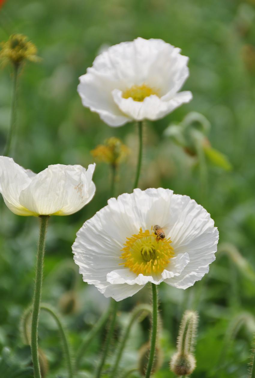 虞美人又名丽春花,花瓣质薄如绫,光洁似绸,花冠轻盈灿若锦霞,兼具素雅