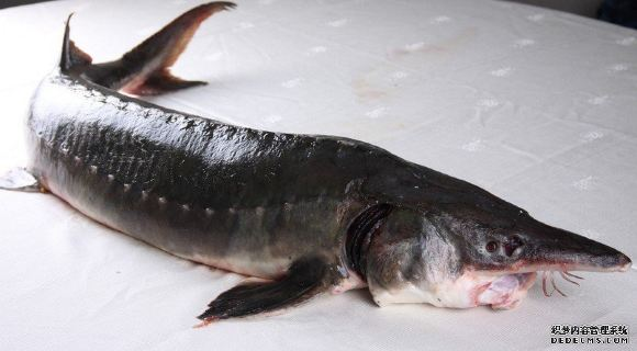 鳇鱼是保护动物嘛
