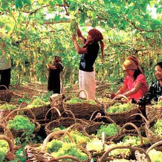 新疆葡萄园