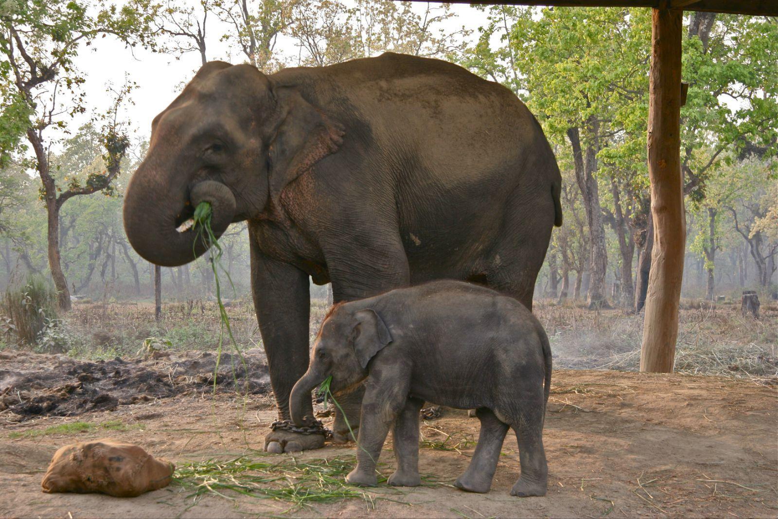大象在大多数时间里都在吃草.图片
