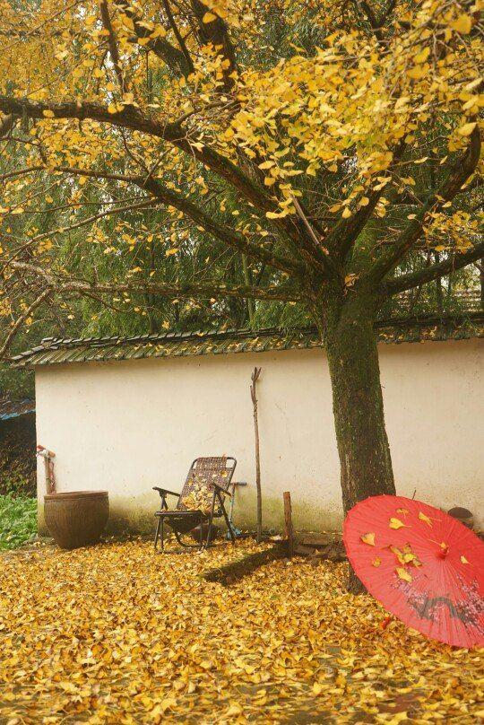 """细雨过后的银杏树叶铺满一地,正所谓""""金天金地金世界,银杏长廊画中游"""