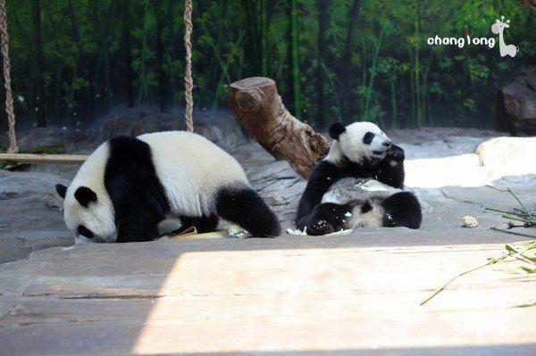 壁纸 大熊猫 动物 600_399