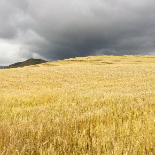 大片金黄色的麦田