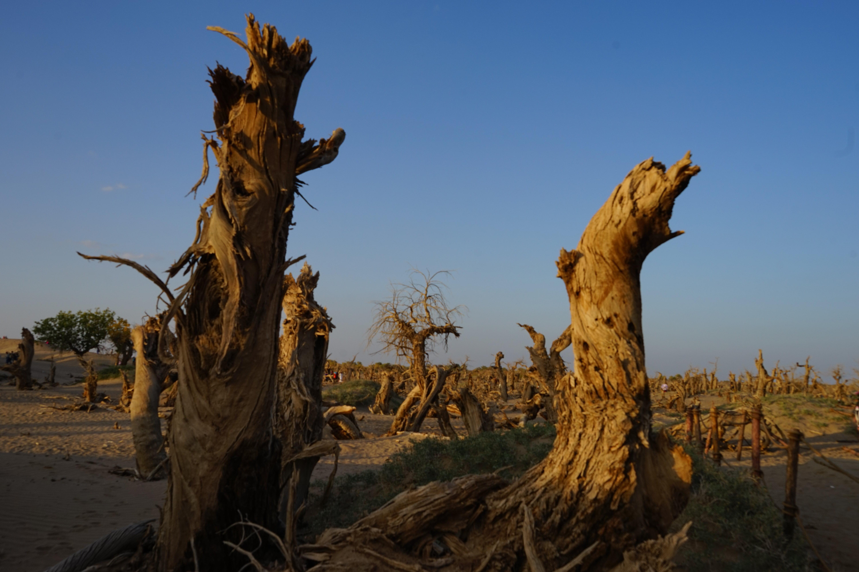 怪树林 日落前拍东倒西歪,神态各异大片枯死的胡杨林剪影,体现死一