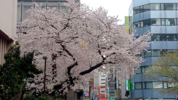 涩谷大楼间的樱花树
