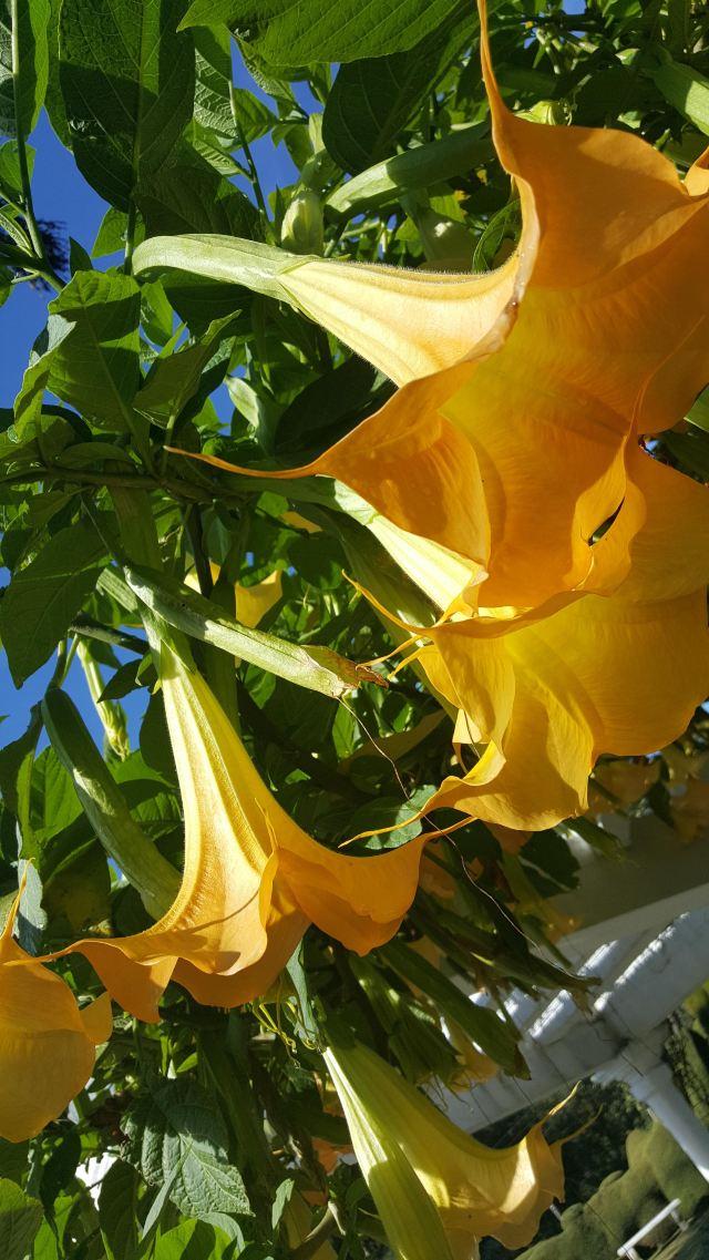 金色曼陀罗——敬爱,天生的幸运儿,有着不止息的幸福.