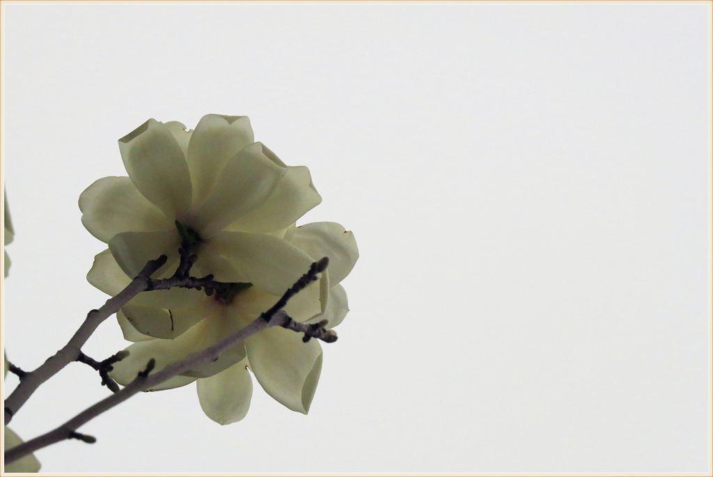 两个叶芽之间夹一个花芽