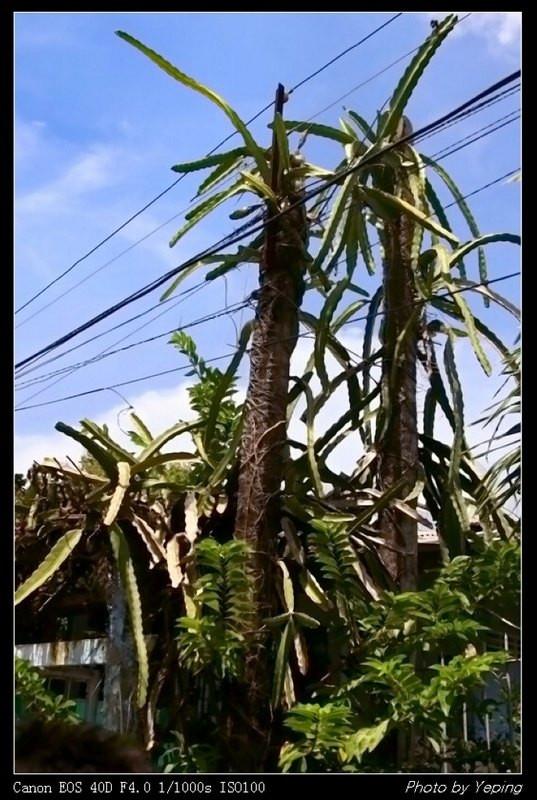 高高的树上结槟榔