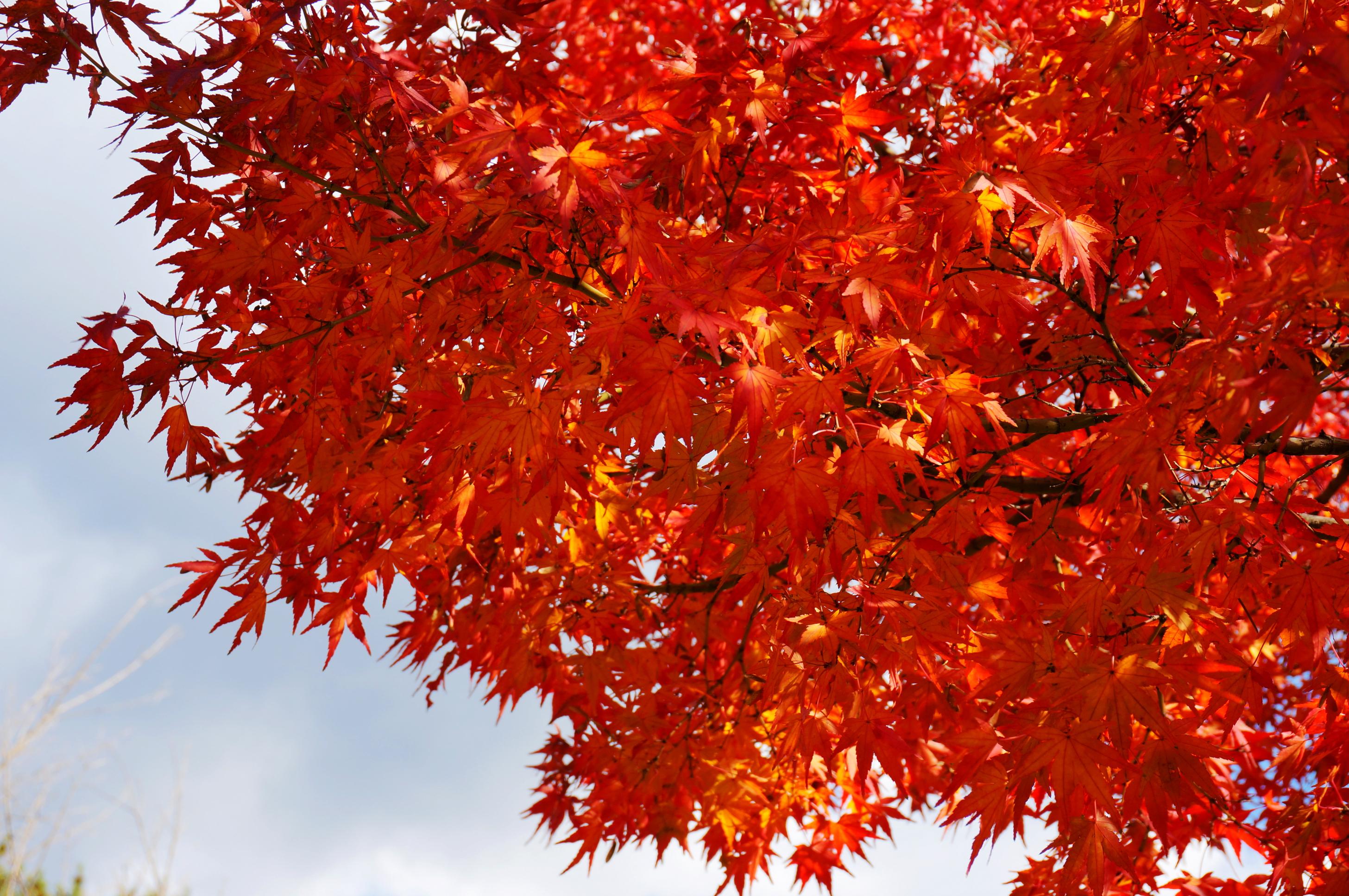 秋冬天的苹果树叶