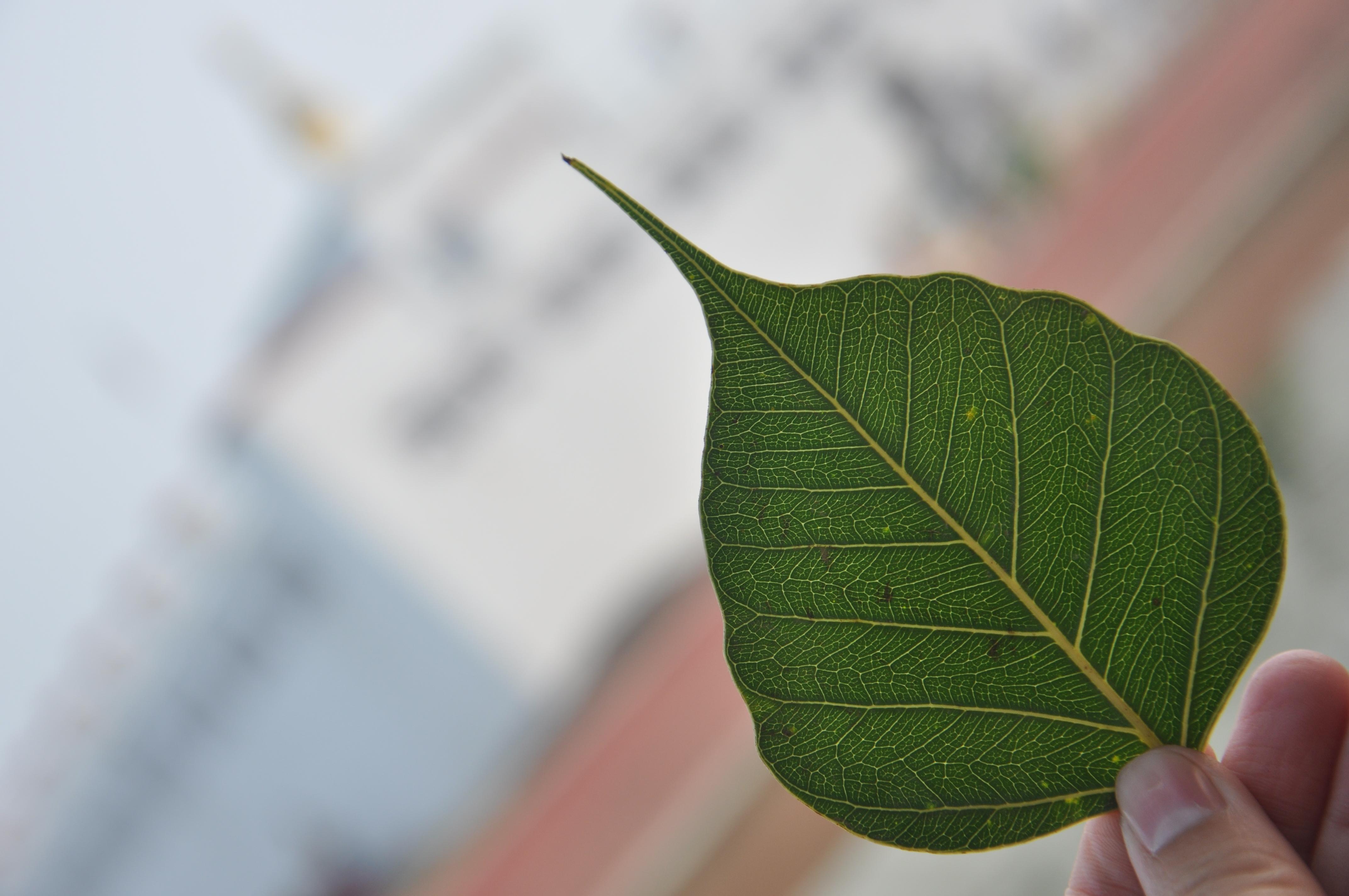 菩提树的叶子.