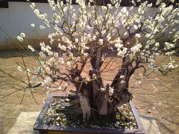 梅花树种植设计图