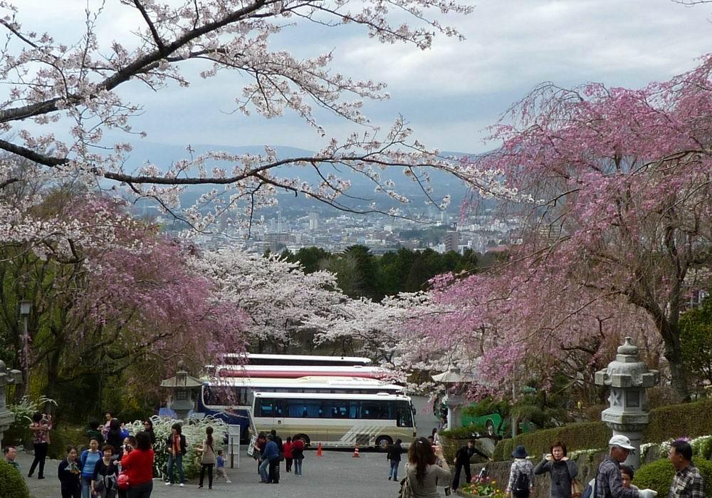平和公园的樱花开的正盛,在这里还可以远眺富士山,感觉不错.