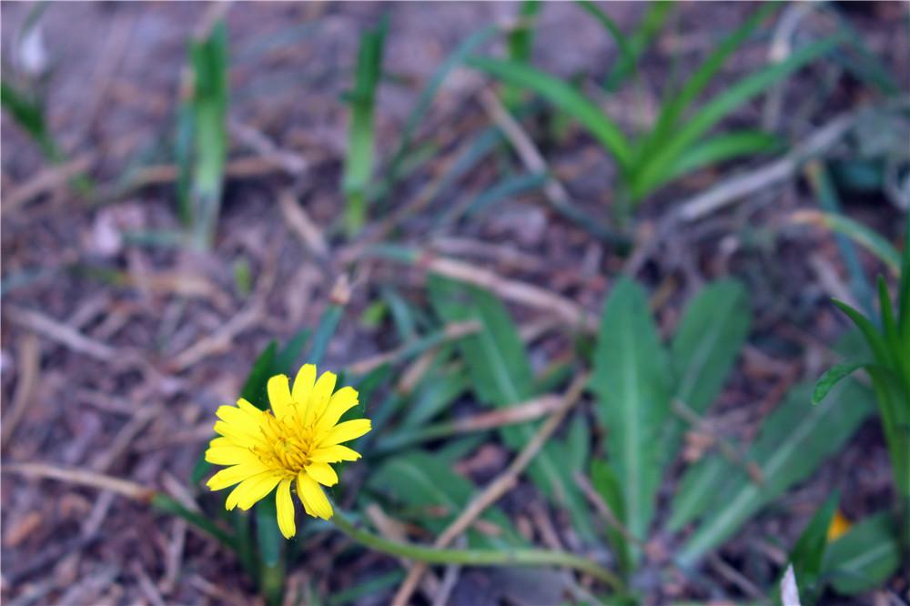 春日的小黄花---蒲公英
