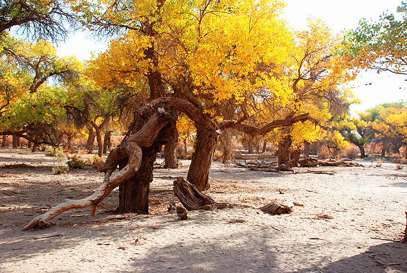 这样造型的胡杨树在四道桥到处都是,没有规律地散落在沙漠