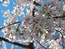 Cherry Tree Monument-印第安纳县