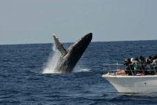 那霸出发赏鲸5-座间味观鲸-冲绳县-C_image