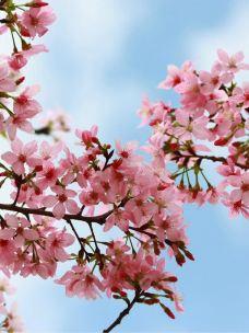 天适樱花悠乐园-从化区-用户1