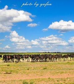 阿巴嘎旗游记图文-草原上的精灵——阿巴嘎黑马,它的铁蹄征服过欧亚大陆