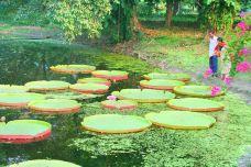 加尔各答植物园-加尔各答-威力然