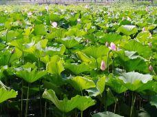 洪湖生态旅游风景区-洪湖-gz当地向导伊妹儿