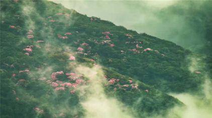 梵净山杜鹃花1